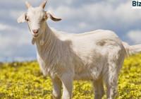 Разведение-коз
