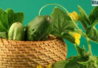 Выращивание-огурцов-как-бизнес