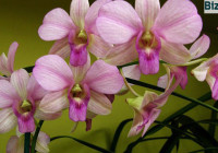 Выращивание-орхидей