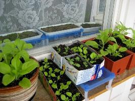 Выращивание рассады самому