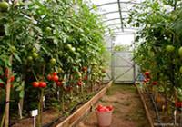 помидоры-мини