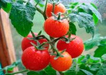 выращивание помидоров как бизнес
