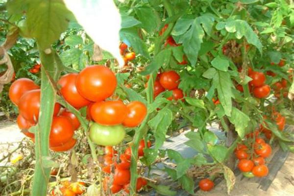 помидоры в теплице зимой